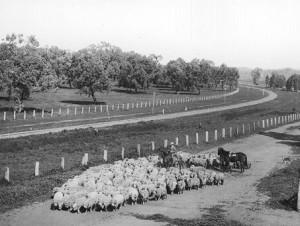 schapen 1900