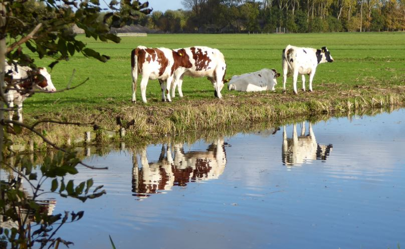 koeien-2