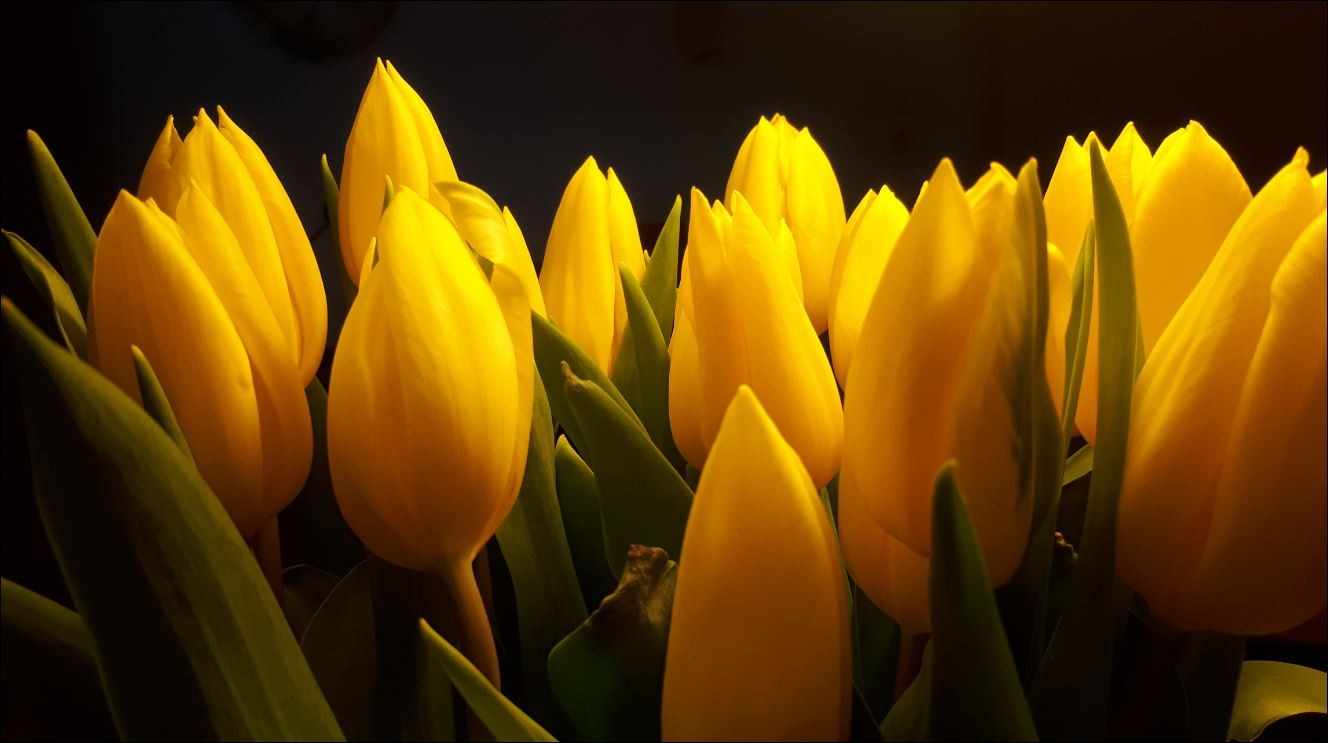 0000 tulpen