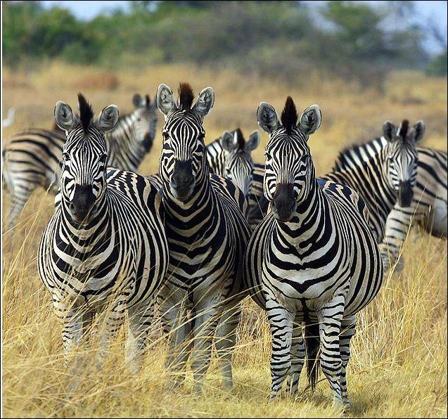 1 zebra 0