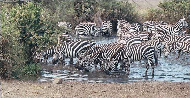 1 zebra groep