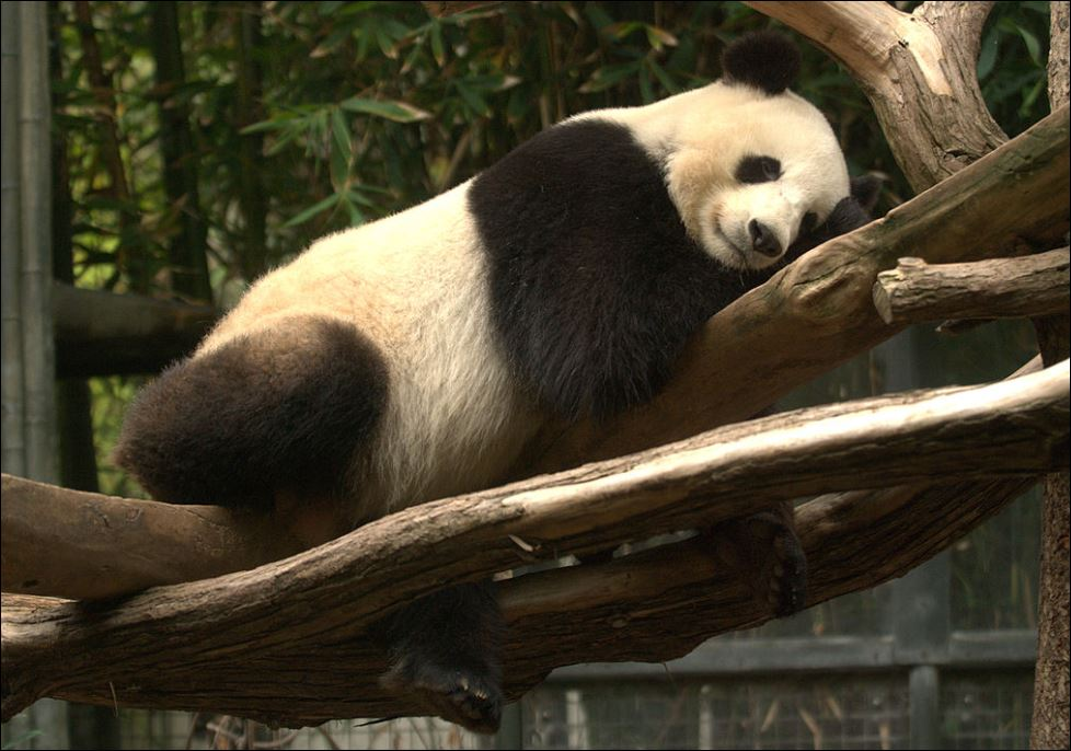 panda slaap
